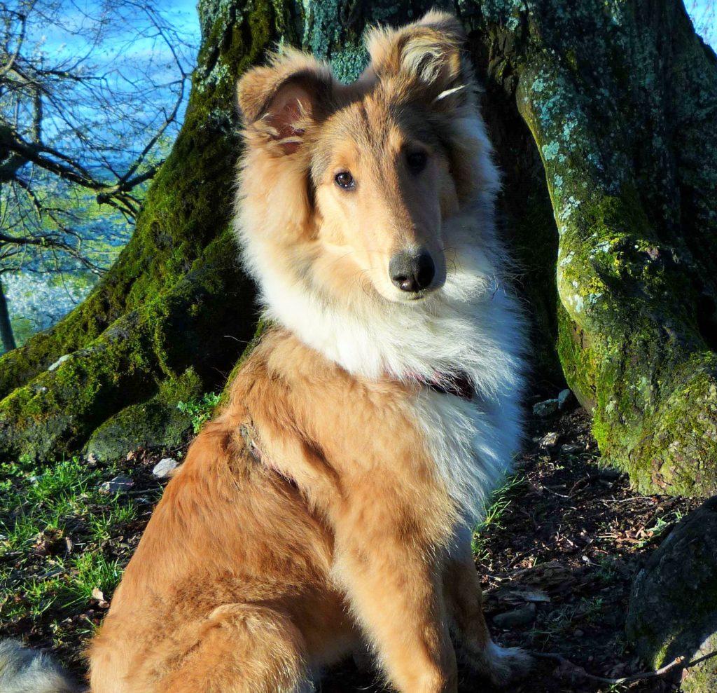 Hund Welpe Trost Freude Wivvica Collie